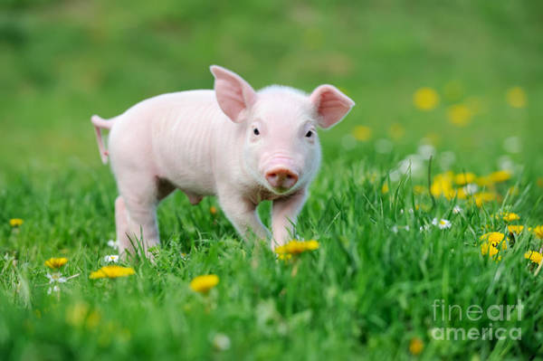 Wall Art - Photograph - Young Funny Pig On A Spring Green Grass by Volodymyr Burdiak