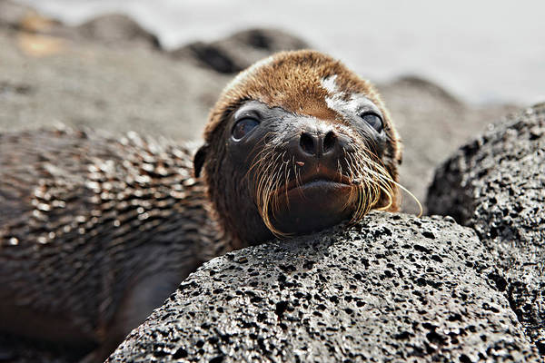 Galapagos Islands Wall Art - Photograph - Young Galapagos Sea Lion, Zalophus by Juergen Ritterbach
