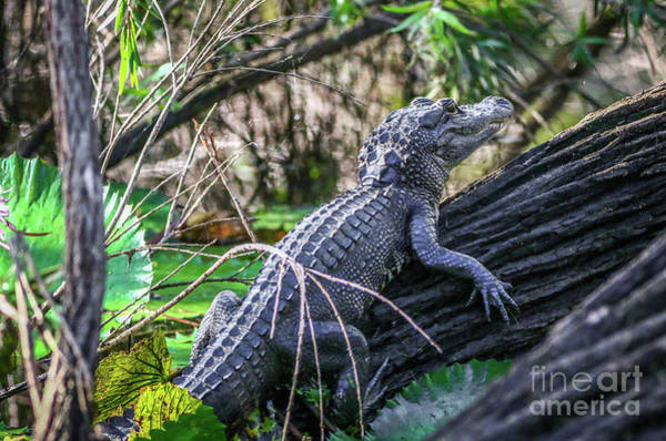 Photograph - Young Gator On Log by Tom Claud