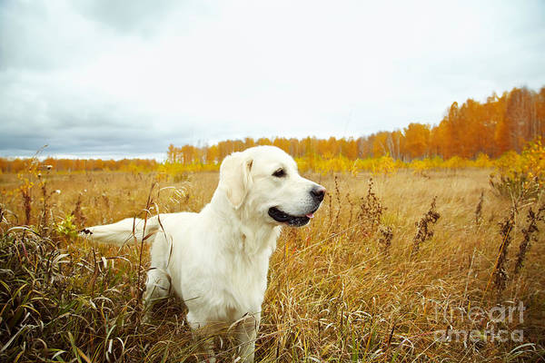 Wall Art - Photograph - Young Golden Retriever For A Walk In by Evgeny Bakharev