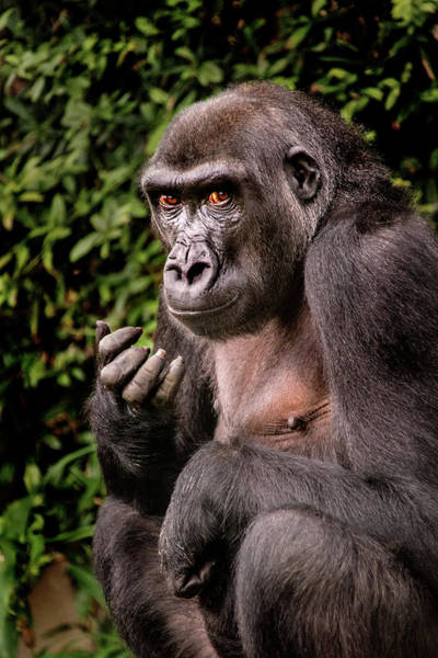 Photograph - Young Gorilla by Don Johnson