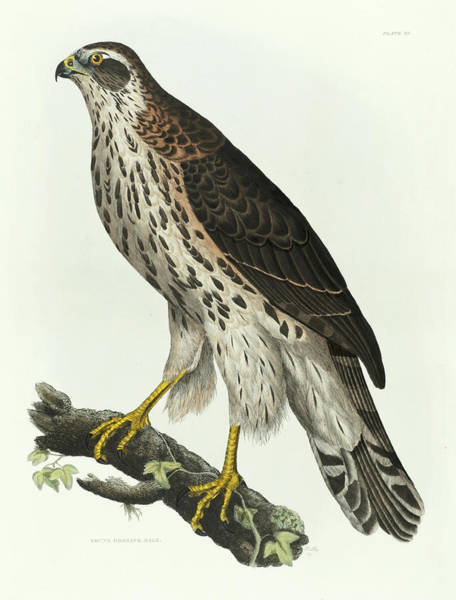 Ornithologist Wall Art - Painting - Young Goshawk by Prideaux John Selby