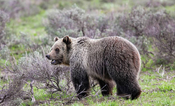 Photograph - Young Grizzly by Ronnie and Frances Howard