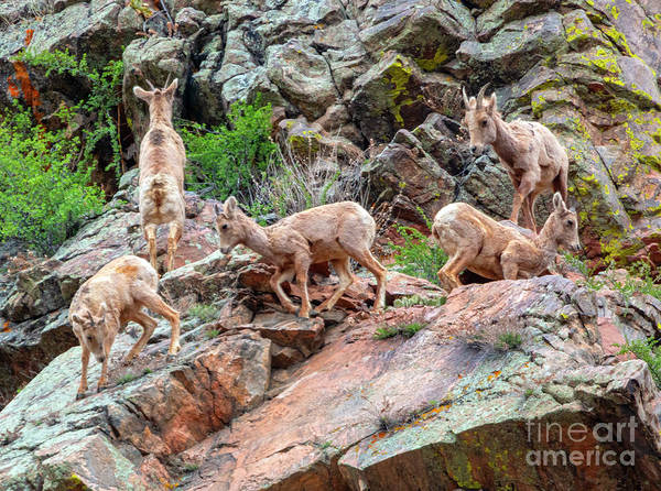 Photograph - Young Herd Of Bighorn Sheep At Play by Steve Krull