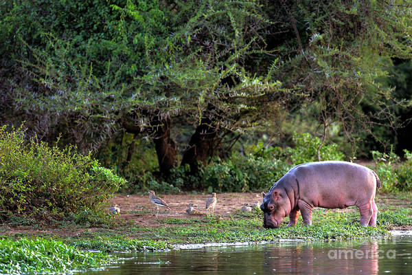 Bank Wall Art - Photograph - Young Hippo Feeding On River Bank by Johan Swanepoel