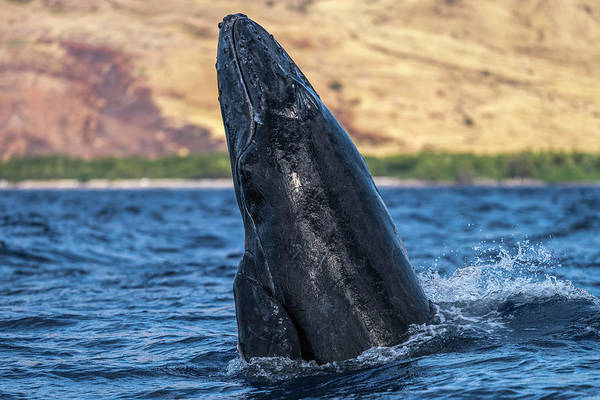 Wall Art - Photograph - Young Humpback Whale  Megaptera by David Hoffmann Photography