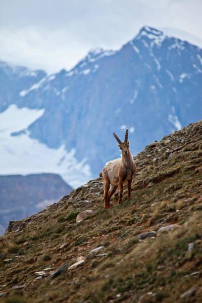 Ibex Wall Art - Photograph - Young Ibex - Swiss Alps by © Lostin4tune - Cedrik Strahm - Switzerland