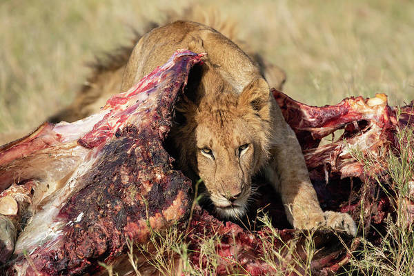 Photograph - Young Lion On Cape Buffalo Kill by Thomas Kallmeyer