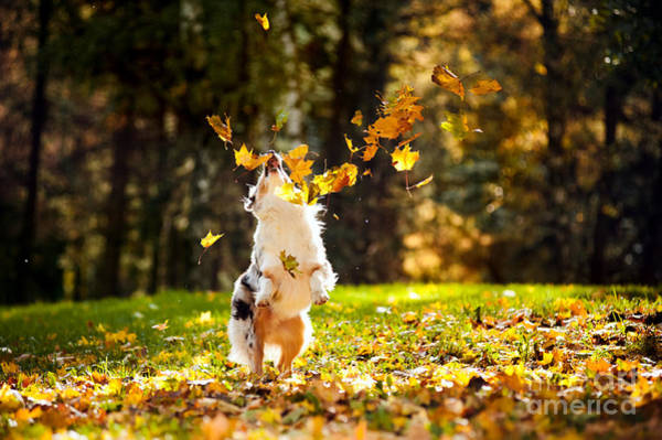 Wall Art - Photograph - Young Merle Australian Shepherd Playing by Ksenia Raykova