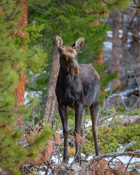 Young Moose In The Morning Forest Art Print