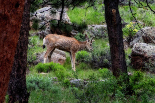 Photograph - Young Mule Deer Feeding by Dan Friend
