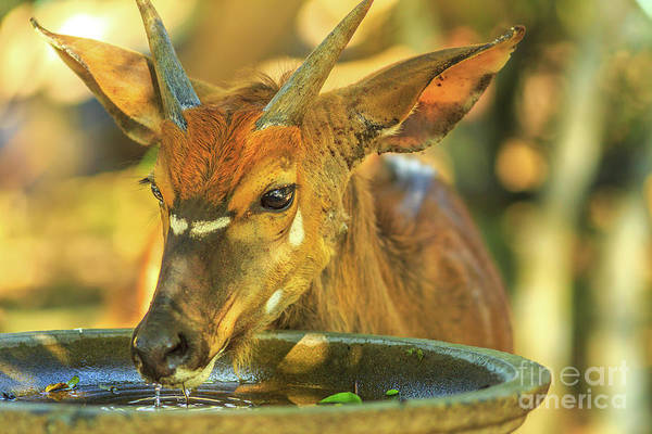Photograph - Young Nyala Male Drinks by Benny Marty