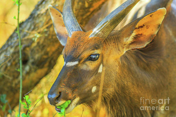 Photograph - Young Nyala Male Eats by Benny Marty