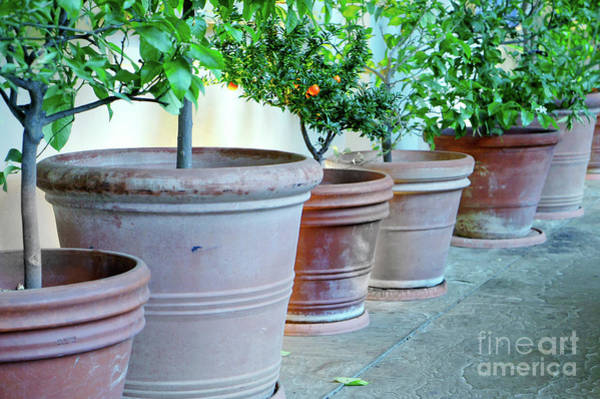 Wall Art - Photograph - Young Orange Trees  by Tom Gowanlock