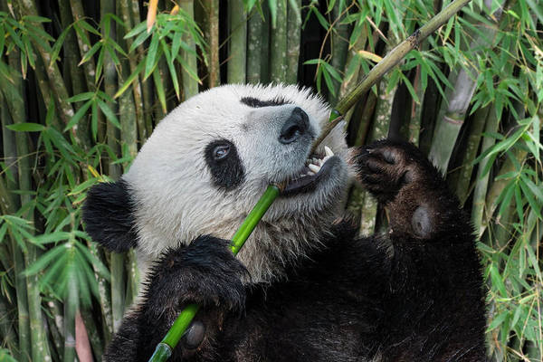 Photograph - Young Panda Bear Eating Bamboo by Arterra Picture Library