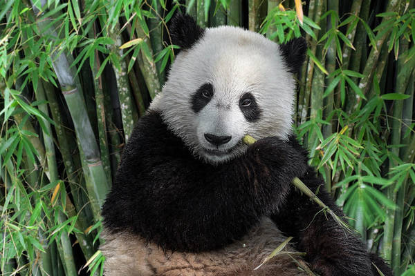 Photograph - Young Panda Bear In Bamboo Forest by Arterra Picture Library