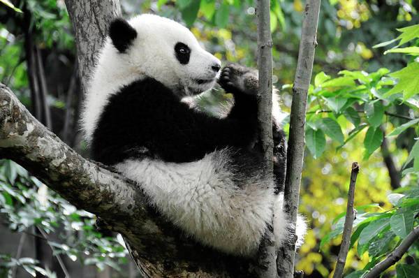 Panda Bear Photograph - Young Panda In Tree by Bwbimages