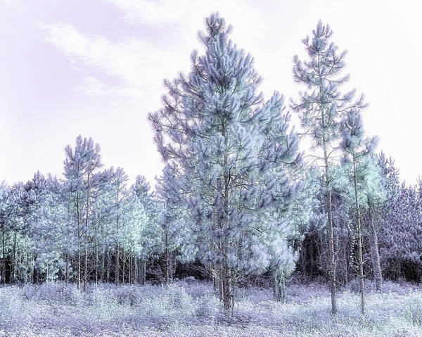 Wall Art - Photograph - Young Pines  I  by Richard Rizzo