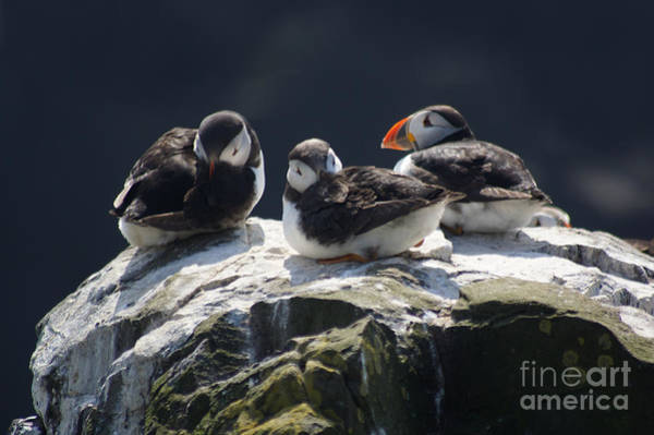 Photograph - Young Puffins On Clifftop. by David Birchall