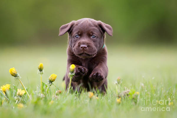 Wall Art - Photograph - Young Puppy Of Brown Labrador Retriever by Bigandt.com