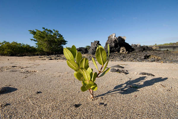 Wall Art - Photograph - Young Red Mangrove by David Hosking