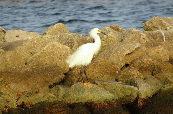 Wall Art - Photograph - young Snowy egret   by Tina Tillery