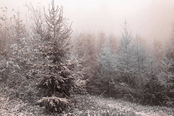 Photograph - Young Spruce Trees In Misty Woods By Jenny Rainbow 1 by Jenny Rainbow