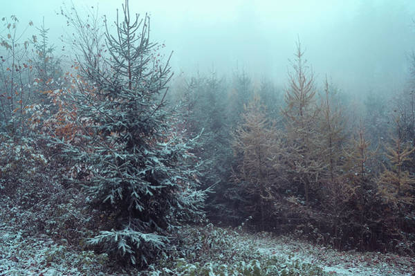 Photograph - Young Spruce Trees In Misty Woods by Jenny Rainbow