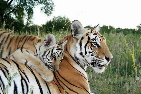 Wall Art - Photograph - Young Tiger Panthera Tigris Cub Playing by Jv Images