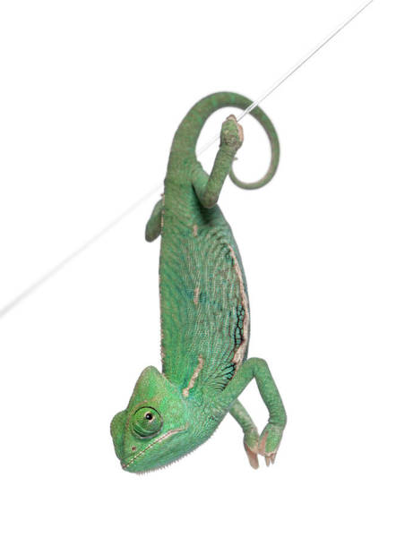 Upside Down Photograph - Young Veiled Chameleon by Life On White