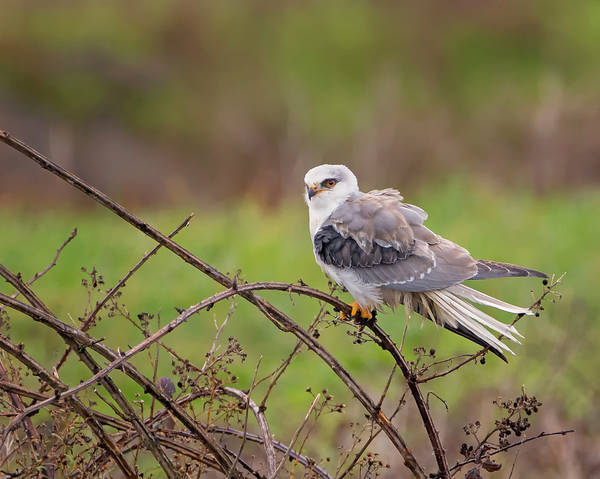 Wall Art - Photograph - Young White Tailed Kite by Loree Johnson