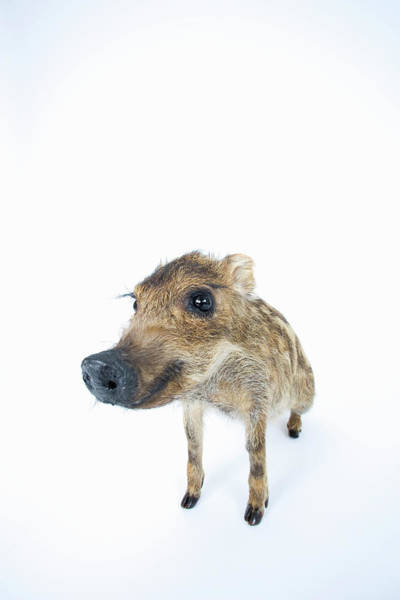 Animal Head Photograph - Young Wild Boar Sus Scrofa by Yasuhide Fumoto