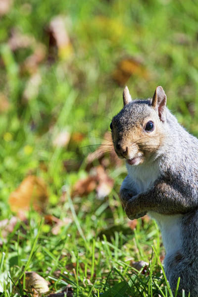 Wall Art - Photograph - Your Friendly Neighborhood Squirrel by Karol Livote
