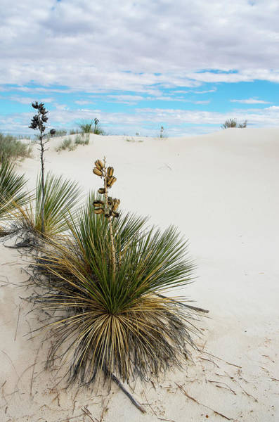 Photograph - Yucca At White Sands by Adam Reinhart