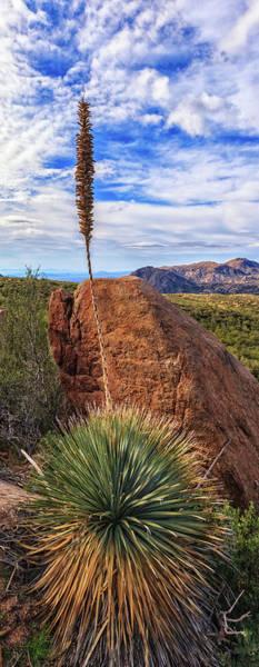 Photograph - Yucca Bloom by Rick Furmanek