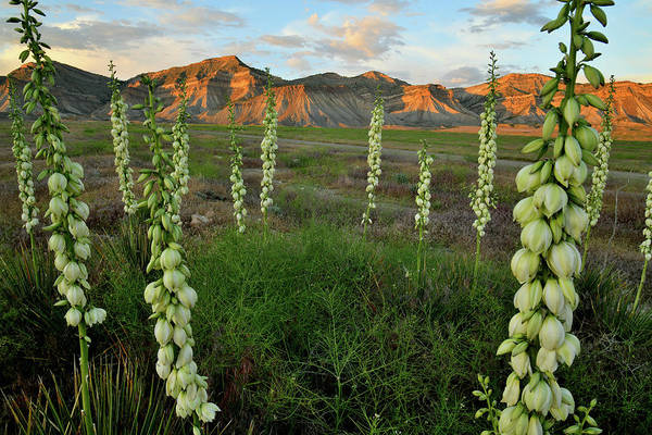 Photograph - Yucca Field At Book Cliffs At Sunset by Ray Mathis