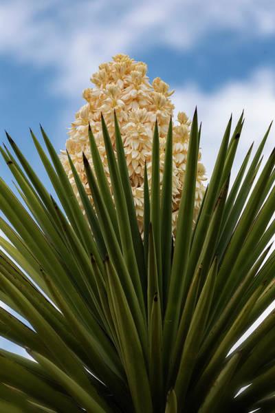 Wall Art - Photograph - Yucca Flowers  by Saija Lehtonen