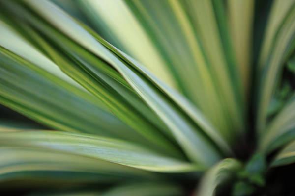 Leaf Photograph - Yucca Plant Macro by Davealan