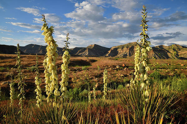 Photograph - Yuccas Bloom In Book Cliffs Desert by Ray Mathis