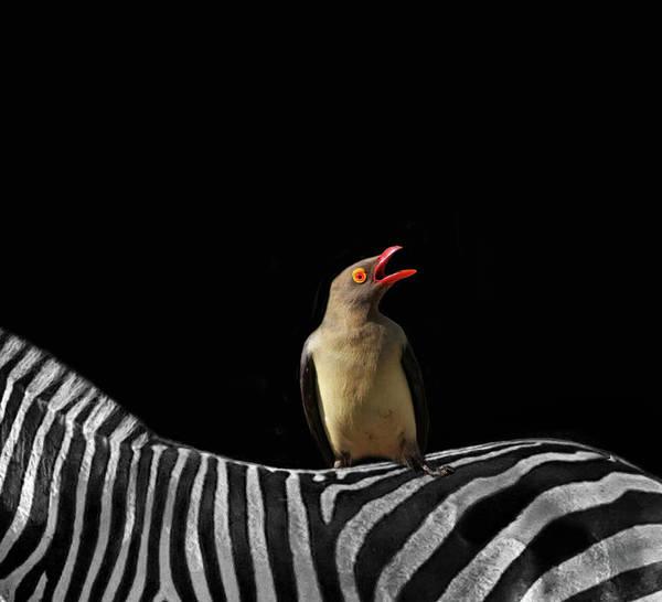 Wall Art - Photograph - Zebra And Oxpecker by Art Spectrum