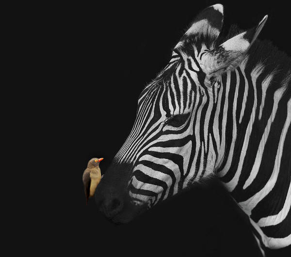 Wall Art - Photograph - Zebra And Red-billed Oxpecker by Art Spectrum