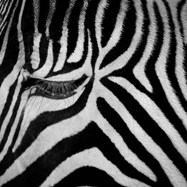 Wall Art - Photograph - Zebra by Billy Currie Photography