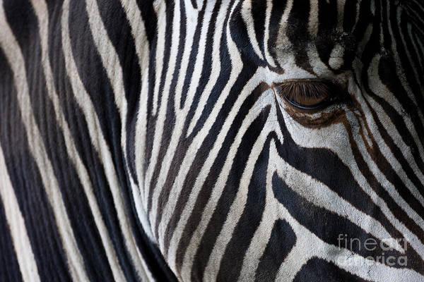 Wall Art - Photograph - Zebra Closeup by Aniad