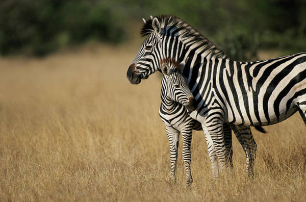 Botswana Photograph - Zebra Eqqus Burchelli With Colt, Savuti by Paul Souders