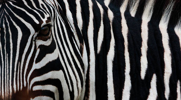 Vertebrate Photograph - Zebra, Equus Quagga Burchellii by Mint Images/ Art Wolfe