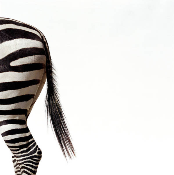 Photograph - Zebra Equus Sp., Side View, Close-up Of by Ryan Mcvay