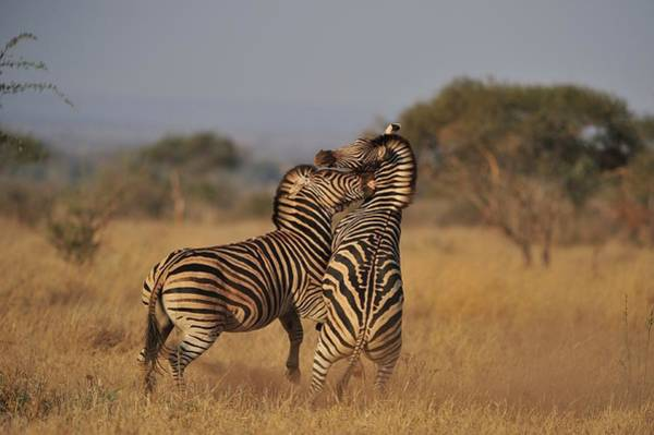 Patterns In Nature Photograph - Zebra Fighting by Wild Africa Nature