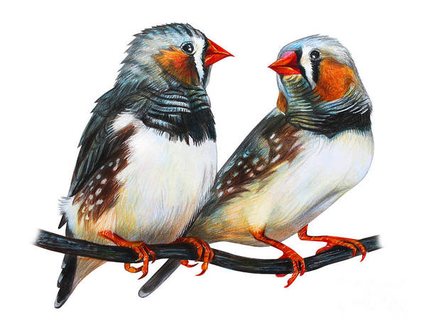 Wall Art - Digital Art - Zebra Finch Drawing Taeniopygia Guttata by Viktoriya art
