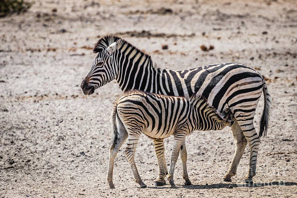 Photograph - Zebra Foal Nursing, Namibia by Lyl Dil Creations