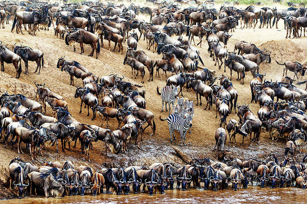 Wall Art - Photograph - Zebra In Crowd Of Wildebeest by Susan Schmitz